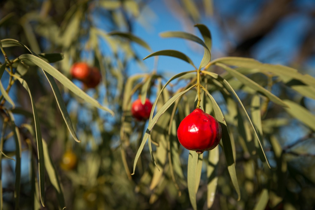 Try hand-cultivated quandong fruit. Traditional jewellery making practices incorporate the seed of the quandong.